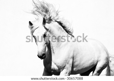 white arabian horse stallion isolated on the white - stock photo