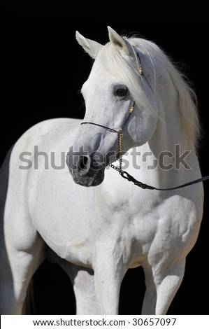 white arabian horse stallion portrait isolated on black - stock photo