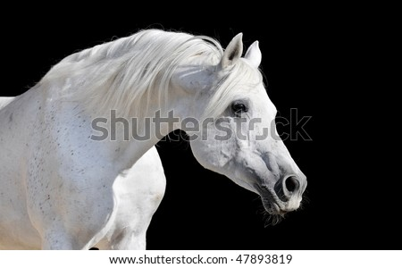 white arabian horse stallion portrait isolated on black - stock photo