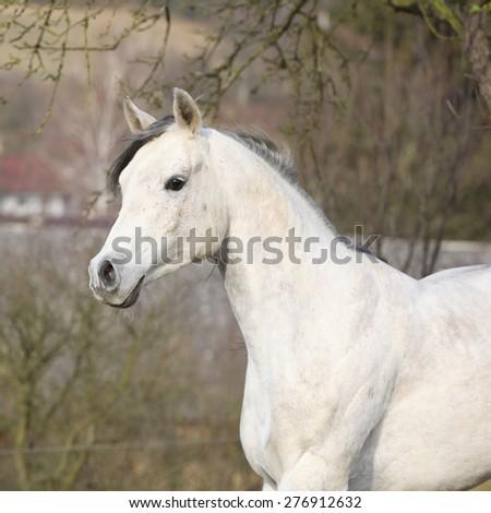 White arabian stallion running alone in autumn - stock photo