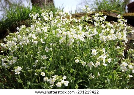 White Arabis alpina known by the common name Mountain rock cress or Caucasian Rockcress.  - stock photo