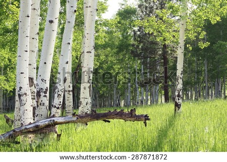 White Aspen Trees in grassy field - stock photo