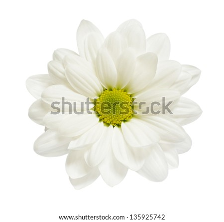 White aster isolated on white - stock photo