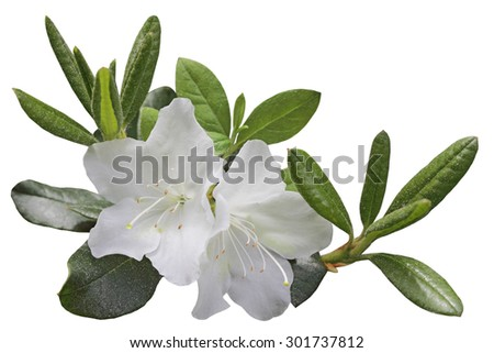White Azela flower and leaf on branch, isolated over background - stock photo