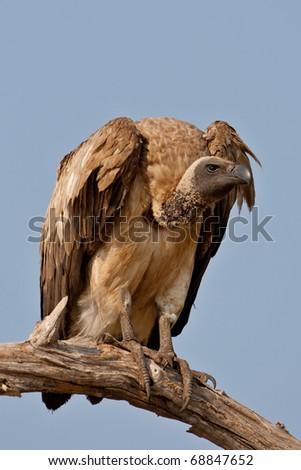 White-Backed Vulture, Chobe National Park, Botswana - stock photo
