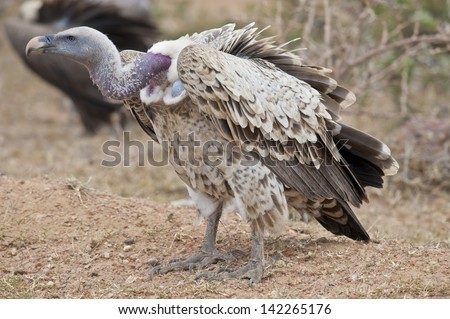 White-backed vulture in Masai Mara National Park - stock photo