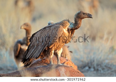 White-backed vultures (Gyps africanus) scavenging on a carcass, South Africa - stock photo
