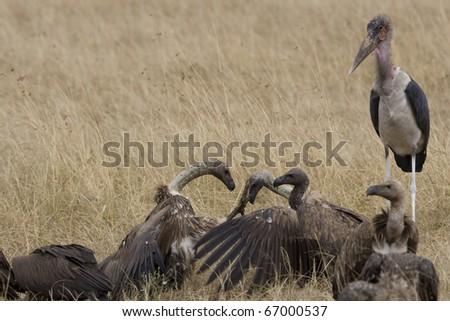 White backed vultures squabble in the Masai Mara - stock photo