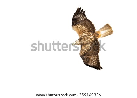 white background hawk Flying Long legged Buzzard Buteo rufinus   - stock photo