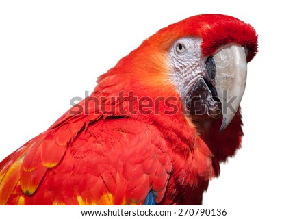 white background, isolated,  head and close up photograph of a scarlet macaw, Ara macao, with feather detail and large beak.  - stock photo