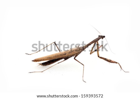 White background on the mantis, close-up pictures
