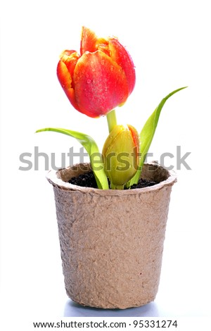White background with tulip  in the papers pots - stock photo