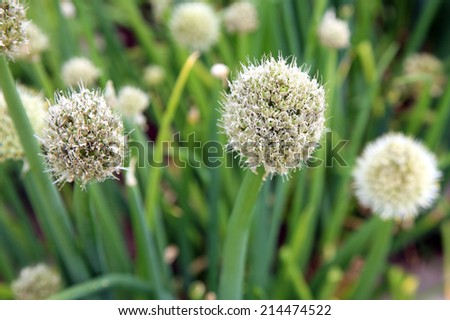 White ball flower chive in ecofriendly herbs home garden. - stock photo