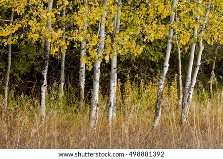White barked trees and yellow leaves.