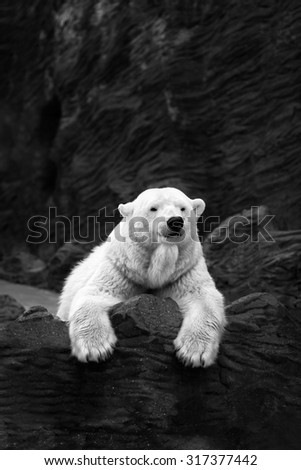 White bear on the rocks, Lying polar bear situated on a rock - stock photo
