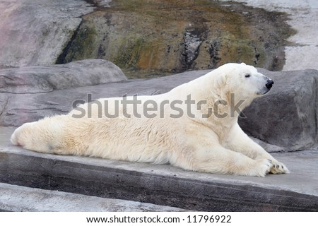 white bear taking rest