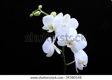 white beautiful orchid isolated on black background