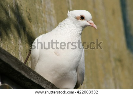 White beautiful pigeon on a roof - stock photo