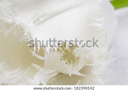 White, beautiful tulip with details