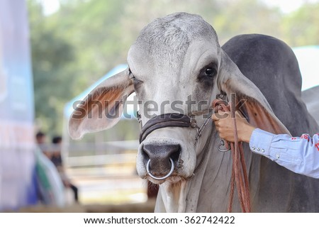 White Beef cattle judging contest - stock photo