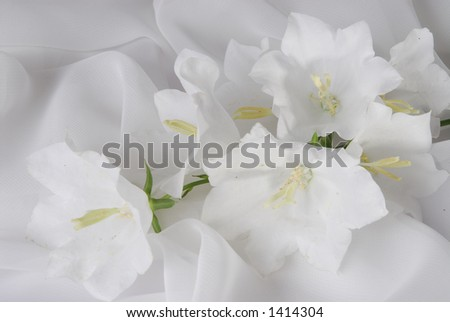 White bellflowers close-up - stock photo