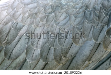 white bellie sea eagle feather close up - stock photo