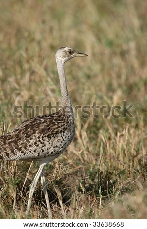 White-Bellied Bustard in Samburu National Preserve