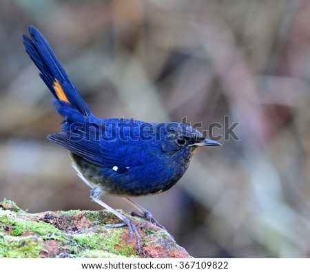 White-bellied redstart (Hodgsonius phaenicuroides) the beautiful blue bird about to jump off the mossy rock showing its side feathers and up tail - stock photo