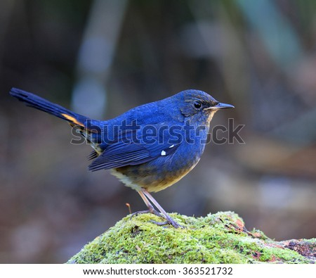 white-bellied redstart (Hodgsonius phaenicuroides) the beautiful blue bird standing on the green mossy rock showing side profile feathers and details - stock photo