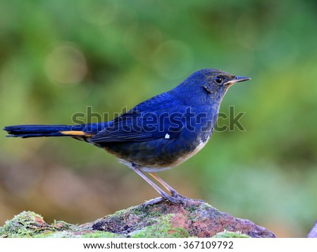 White-bellied redstart (Hodgsonius phaenicuroides) the beautiful blue bird standing on the mossy rock showing its side feathers on the nice blue green background and bokeh - stock photo