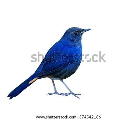 White-bellied Redstart (Hodgsonius phaenicuroides) the beautiful blue bird standing with fully details from head to toes isolated on white background - stock photo