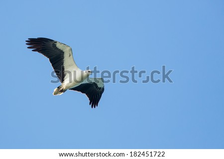 White-bellied Sea Eagle flying on blue sky