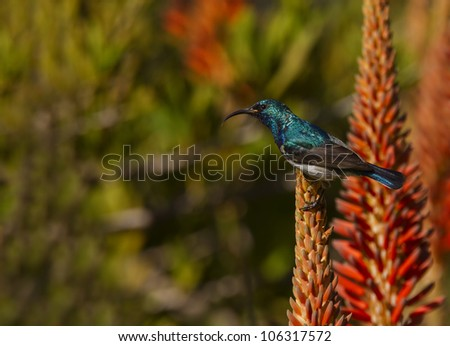 White bellied Sunbird perched on flowering Aloe