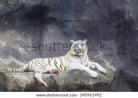 White Bengal Tiger lay down on the cliff - stock photo
