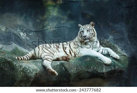 White bengal tiger looking - stock photo