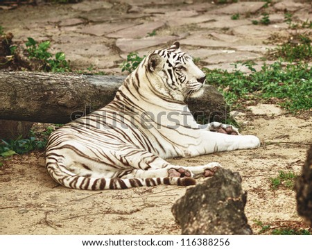 white bengal tiger lying on the ground - stock photo