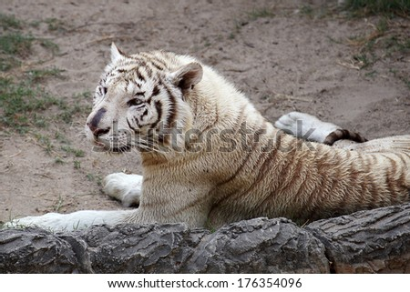 White Bengal tiger resting and looking something - stock photo