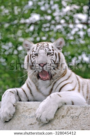 White Bengal Tiger,resting on rock, yawning,portrait - stock photo