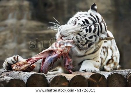 White Bengal tiger tore his teeth a piece of meat - stock photo