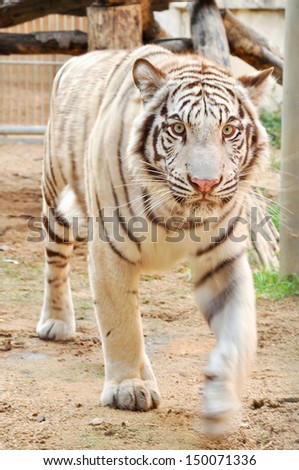 White Bengal tigers eyes are usually blue, but may be green or amber. - stock photo