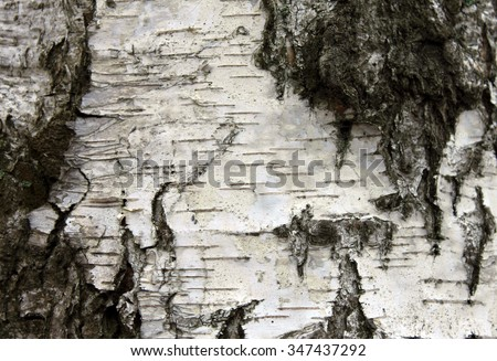 White birch bark, close up natural texture background