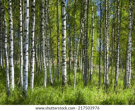 White birch trunks in a green forest in a sunny day on the blue sky background - stock photo