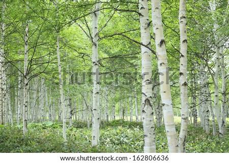 White birch wood - stock photo