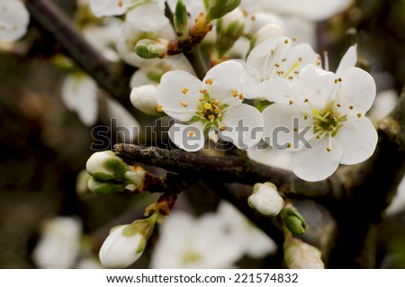 White Blackthorn flowers - stock photo