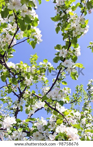 white blooming apple tree branches on background of blue sky. Natural spring beauty backdrop. - stock photo