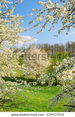 White blooming apple trees in springtime - stock photo