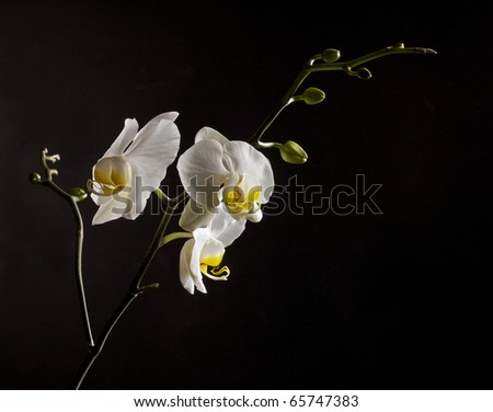 White blooming orchids on a black background - stock photo