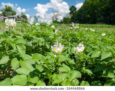 White blooming potato bush flowers  in a vegetable garden - stock photo
