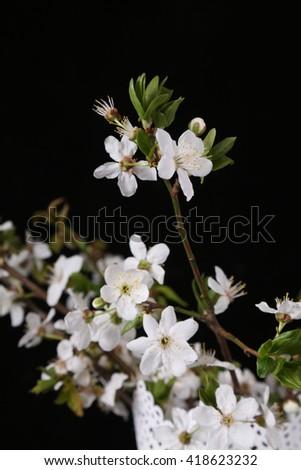White blossom cherry isolated on black - stock photo