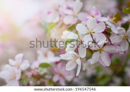 white blossom of apple trees in springtime. nature background